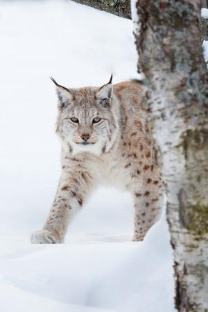 sneaks: A european lynx walking in the winter forest  February, Norway