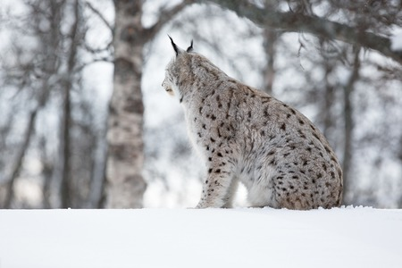 sneaks: European lynx in the snow a cold winter, february, Norway