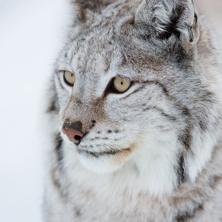 sneaks: A european lynx in the cold winter  February, Norway