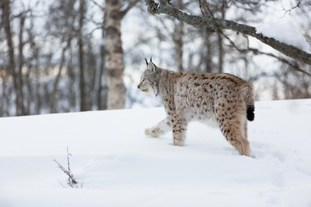 sneaks: A european lynx in the winter forest  February, Norway