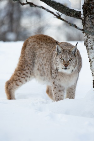 sneaks: A european lynx in the forest  Cold winter, February, Norway