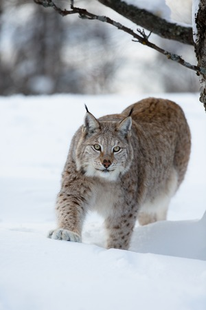 sneaks: A european lynx walking in the snow  Cold winter, February, Norway  Stock Photo