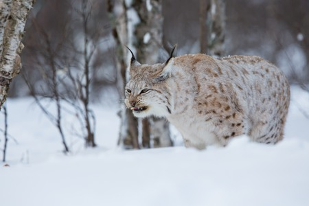 sneaks: Lynx with foot in the mouth  February, Norway