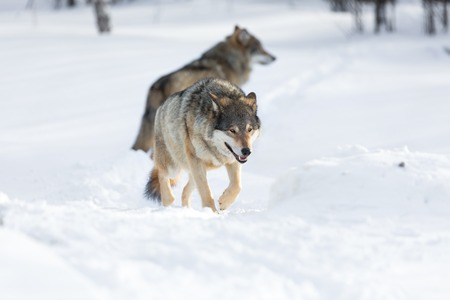 Wolf in a norwegian winter forest  photo