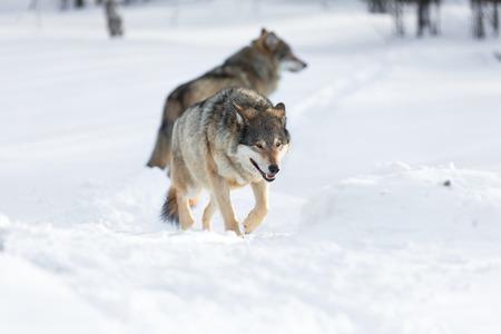 eurasian wolf: Wolf in a norwegian winter forest