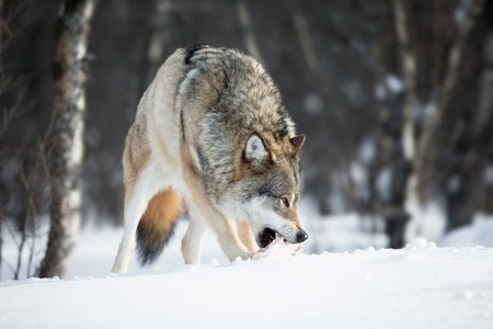 scandinavian peninsula: Wolf in a norwegian winter forest  Cold day, february