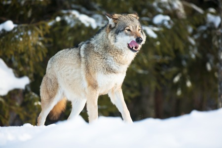 Wolf in a norwegian winter forest  Cold day, february  photo