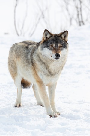 Wolf in a cold norwegian winter forest  photo