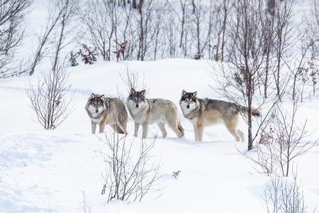 lobo: Manada de lobos en un bosque de invierno noruego Nevando Foto de archivo