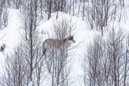 eurasian wolf: Wolf in a norwegian winter forest  Cold day, february