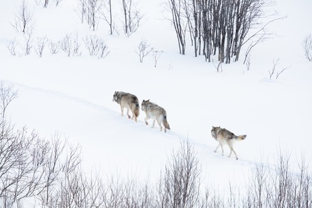 Wolves, wolf pack, in norwegian winter forest  Snowing  photo
