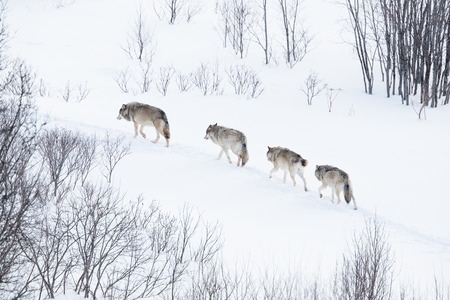 wolf eyes: Wolves in norwegian winter forest  Snowing  Stock Photo