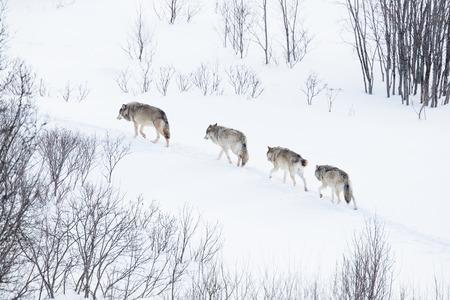 scandinavian peninsula: Wolves in norwegian winter forest  Snowing  Stock Photo