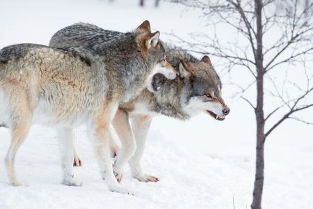 scandinavian peninsula: Two furious wolves in the cold snow  Stock Photo