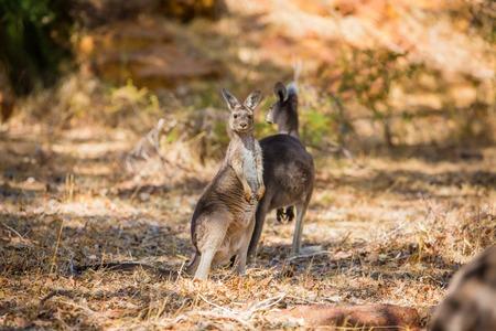 western australia: Wild kangaroos in the Australian forest. Shot in Western Australia.