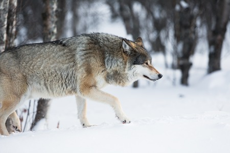 eurasian wolf: One wolf walking in the woods a cold winter day. Stock Photo