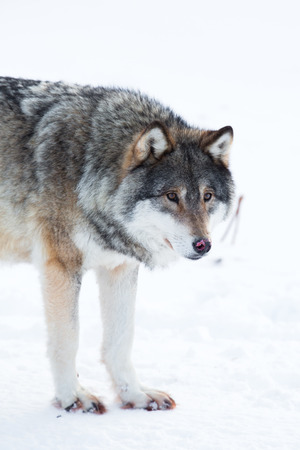 eurasian wolf: Wolf in the norwegian winter forests. Stock Photo