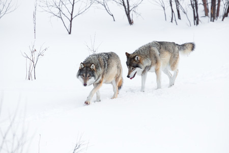 Wolf pack in the cold winter landscape. photo