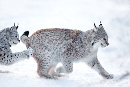 runs: Eurasian lynx runs and practice hunting skills in the snow.