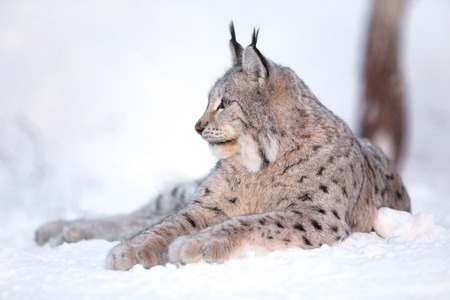 Eurasian lynx laying in the snow and rests. 스톡 콘텐츠