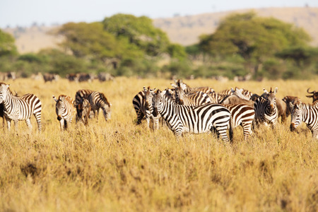great plains: Zebras eating in the great plains of Serengeti Tanzania, Africa.