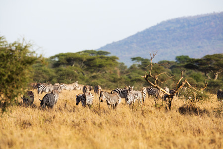 great plains: Zebras grazing in the great plains of Serengeti Tanzania, Africa. Stock Photo