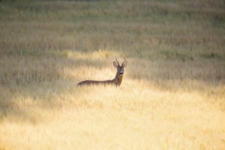 roebuck: Wild roebuck in a field
