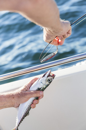 Removing lure from mackerel photo