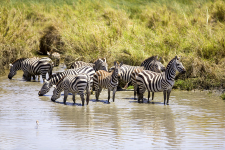 Zebras drinks of a water hole photo