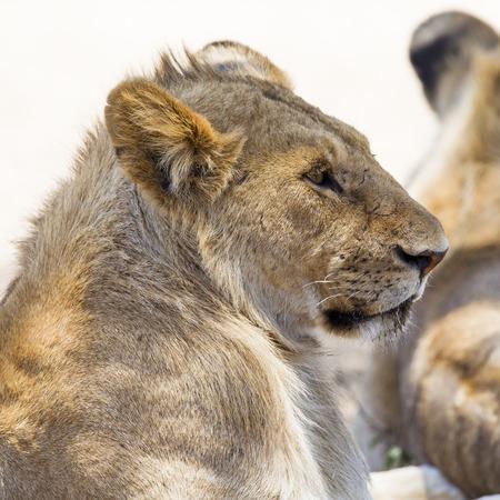 shape cub: Lion rests in Serengeti