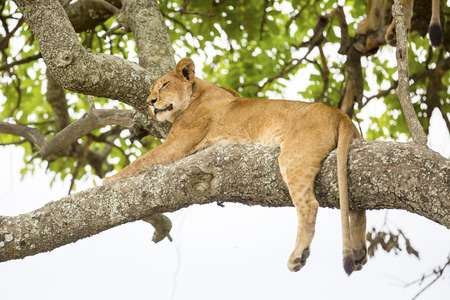 African lion rests in tree