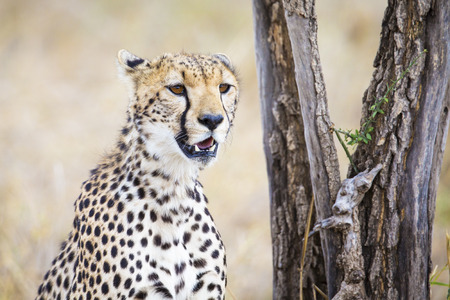 Cheetah looking after prey in Serengeti photo