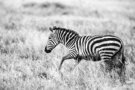 great plains: Running zebra at the great plains of Serengeti