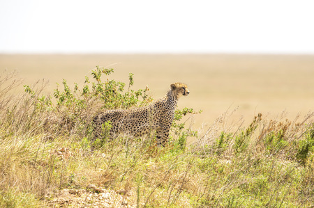 African cheetah on a hill in Serengeti photo