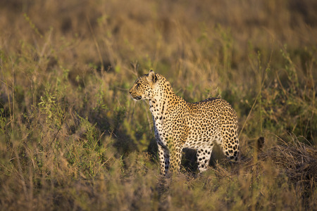 great plains: African leopard at the great plains of Serengeti Stock Photo