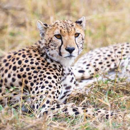 Cheetah rests at plains of Serengeti photo