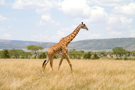 Large giraffe walks at the plains of Africa photo