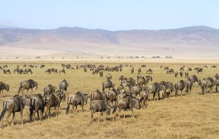 east africa: Herds of wildebeests walks in Ngorongoro Stock Photo
