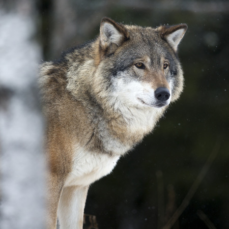 gray wolf: Wolf in the cold winter