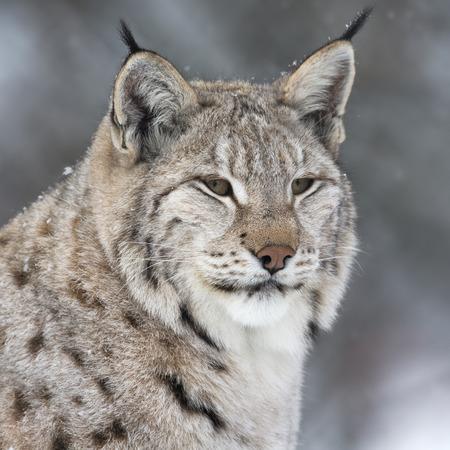 lince: Lynx en gruesa piel de invierno