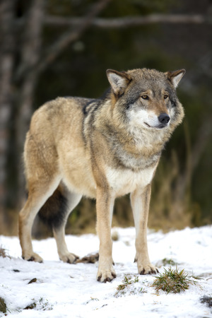 eurasian wolf: Wolf standing in the cold winter forest