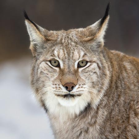 looking into camera: Lynx looking into camera Stock Photo