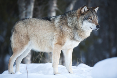 scandinavian peninsula: Wolf standing in the cold winter forest