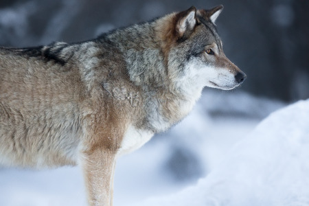 looking after: One wolf looking after pray in the woods a cold day in the winter. Stock Photo