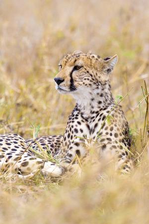 enemies: Cheetah looks after enemies in Serengeti Stock Photo