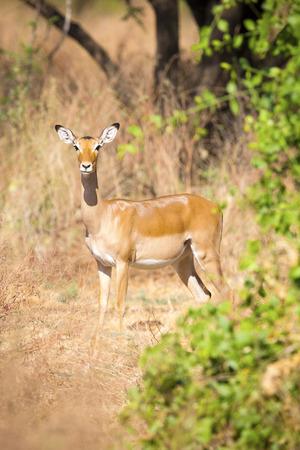 tanzania antelope: One impala in Africa Stock Photo