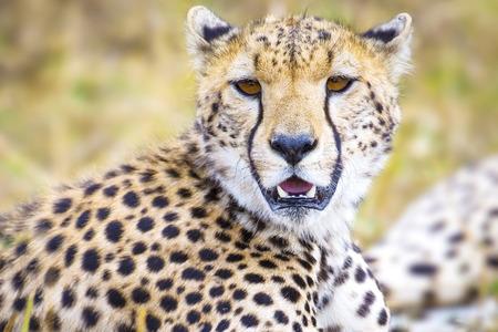 great plains: Cheetah at the great plains of Serengeti Stock Photo