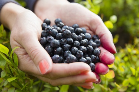 acai berry: Woman holding a heap of organic and healthy blueberries in her hands. Gather blueberry in the forest.