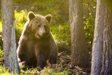 kodiak: Big brown bear in the sunset in the woods. This bear is called ursus arctos.
