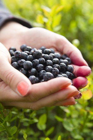 gather: Woman holding a heap of organic and healthy blueberries in her hands. Gather blueberry in the forest.